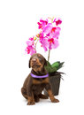 Doberman puppy with violet flower isolated Stock Photo