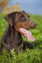 Doberman young brown laying in the green grass Stock Images