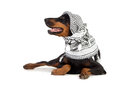 Dobermann dog in black kufiya Royalty Free Stock Photo