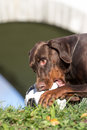 Dobermann dog plays with the ball Royalty Free Stock Photos