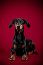 Dobermann lying on red backdrop Stock Image