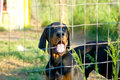 Dobermann puppy behind fence Royalty Free Stock Photo