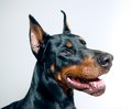 DobermanPinscher Royaltyfri Foto