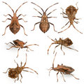 Dock bugs, Coreus marginatus, species of squash Stock Images