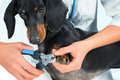 Doctor veterinarian is trimming dog nails unrecognizable woman dachshund Stock Photos