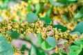 Dodder Genus Cuscuta is parasitic plants Royalty Free Stock Photo