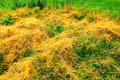 Dodder in Illinois Prairie Royalty Free Stock Photo