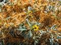 Dodder Vine Overtakes A Brittlebush Plant