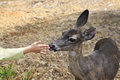 Doe and a child s hand california yosemite national park Royalty Free Stock Image