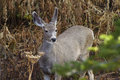 Doe deer looking for food Royalty Free Stock Photography