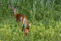 Doe and Fawn Stock Image