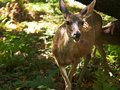 A doe and fawn feed among redwood trees at muir woods Royalty Free Stock Photo