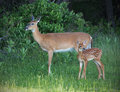 Doe and fawn standing in field Royalty Free Stock Photography
