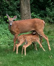 Doe with 2 fawns feeding Royalty Free Stock Photo