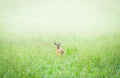Doe in a Foggy Green Meadow Royalty Free Stock Photo