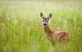 Doe in a grass field portrait of beautiful Royalty Free Stock Photo