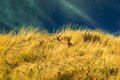 Doe hiding in tall grass on a dry hillside Royalty Free Stock Photo