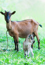 Doe and kid a young domestic goat its mother Royalty Free Stock Photography