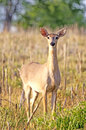 Doe large a deer female Stock Photography
