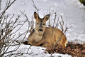 Doe lying in the woods in the snow Stock Image