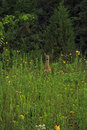 Doe in a meadow Royalty Free Stock Photo