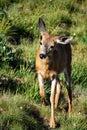A Doe prancing through a meadow Royalty Free Stock Photo