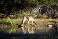 Doe Reflections Royalty Free Stock Photo