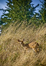 Doe three hiding in tall grass on a dry hillside Royalty Free Stock Photo