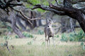Doe in the Trees Royalty Free Stock Photo