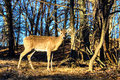 Doe in the wild standing a grove of trees Royalty Free Stock Images