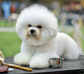 Dog ​​bichon frise beautiful snow white fluffy сurly lap is a small breed of of the bichon type they are popular pets Stock Photo