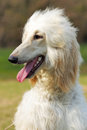 Dog Afghan Hound Royalty Free Stock Photo