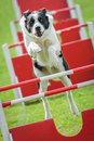 Dog agility large on an jumping course Royalty Free Stock Photo