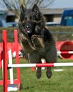 Dog agility show for large class dogs Stock Photography