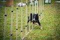 Dog agility - slalom Royalty Free Stock Photo