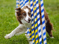 Dog Agility Slalom Poles Course Royalty Free Stock Photo