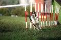 Dog agility slalom Royalty Free Stock Photo