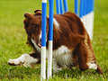 Dog Agility Weave Poles Royalty Free Stock Photo