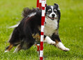 Dog Agility Weave Run Royalty Free Stock Photo