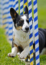 Dog Agility Weave Slalom Royalty Free Stock Photo