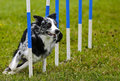 Dog Agility Weave Speed Royalty Free Stock Photo