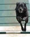 Dog Airborne