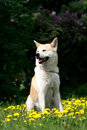 Dog, Akita Inu Sits in dandelions Stock Photo
