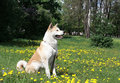 Dog,  Akita Inu Sits on a glade Royalty Free Stock Images
