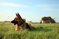 Dog - Alsatian Royalty Free Stock Photo