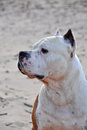 Dog American Staffordshire terrier Royalty Free Stock Image