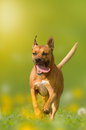 Dog american staffordshire terrier pit bull jumps over a meado meadow with yellow flowers Stock Image