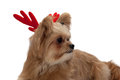Dog with antler cute mixed breed red isolated in white background clipping path Royalty Free Stock Images