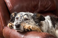 Dog on armchair border collie or australian shepherd mix pet leather couch or looking sad bored lonely sick depressed melancholy Stock Images