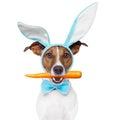 Dog as bunny Stock Image